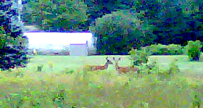 Deer on North Shore Road