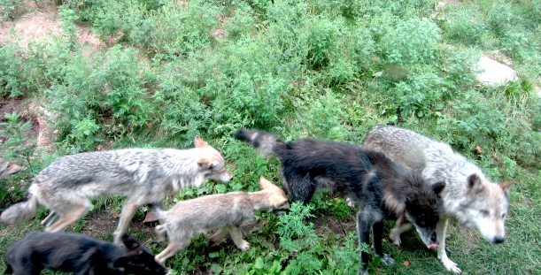 Wolves at Haliburton Forest Wolf Centre